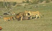 Video: Hãi hùng sư tử đầu đàn bị 9 con sư tử cái lao vào cắn xé