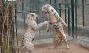 Video: Cuộc chiến bất phân thắng bại giữa hai con hổ trắng
