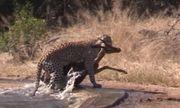 Video: Báo nhận kết đắng cho việc bắt nạt linh dương