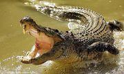 Choáng váng khi cụ bà săn được cá sấu nặng 3 tạ trong nháy mắt