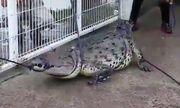 Cá sấu lên bờ,