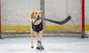 Video: Chú chó có khả năng trượt băng điêu luyện có một không hai