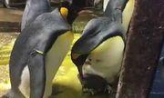 Video: Bất ngờ cặp chim cánh cụt đồng tính bắt cóc con