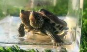 Video: Rùa 2 đầu đột biến gen xuất hiện ở Trung Quốc