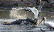 Video: Hãi hùng cảnh cá sấu