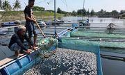 Cá nuôi lồng bè chết trắng tại Hội An