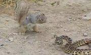 Video: Rắn hoảng sợ bỏ chạy trong cuộc hỗn chiến với sóc nhỏ