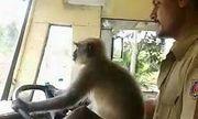 Video: Hành khách hốt hoảng khi thấy khỉ lái xe buýt