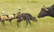 Video: Đàn trâu rừng bất lực nhìn bầy chó hoang bắt mất con