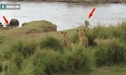 Video: Sư tử giăng