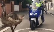 Video: Cảnh sát dùng cả xe máy, ôtô truy đuổi đà điểu trên phố đông người
