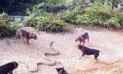Video: Rùng mình cảnh đàn chó lao vào xé xác rắn hổ mang chúa