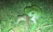 Video: Ếch ngấu nghiến ăn thịt rắn và cái kết bất ngờ