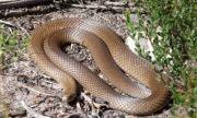 Người đàn ông hoảng hồn vì bắt gặp rắn độc nhất nhì thế giới ngay trong nhà