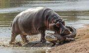 Video: Cuộc chiến giữa đàn hà mã với cá sấu để bảo vệ con