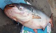Ngư dân bắt được cá tra dầu dài 2m, nặng hơn 200kg