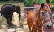 Du khách nổi giận vì voi gầy hom hem, chủ vườn thú viện lý do an toàn