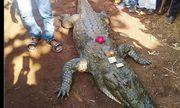 Video: Cá sấu 130 tuổi chết, cả làng bỏ ăn, khóc vật vã