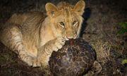 """Cuộc chiến sinh tồn: Sư tử """"hờn cả thế giới"""" khi gặm tê tê mỏi hàm vẫn không được miếng nào"""