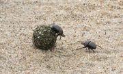 Video: Trận kịch chiến kinh hoàng giữa 2 con bọ hung
