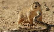 Video: Cầy thảo nguyên dũng cảm chặn đường rắn trâu để bảo vệ đàn con
