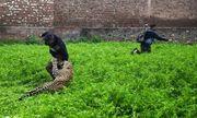 Video: Báo đói lẻn vào khu dân cư vồ 6 người, dân làng chạy tán loạn