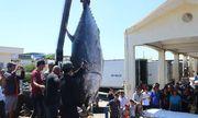 Ngư dân Phú Yên câu được cá ngừ vây xanh \