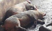 Bình Dương: Lợn bỗng dưng chết hàng loạt, nghi bị dịch tả lợn Châu Phi