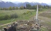 Video: Chim ưng bố mẹ đánh đuổi gấu đen bảo vệ trứng trong tổ