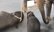 Phẫn nộ cảnh voi con kiệt sức ngã quỵ vì bị trói vào voi mẹ đi chở khách