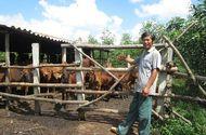 Khởi nghiệp - Lên núi trồng rừng, nuôi bò mà thành triệu phú
