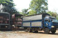 Thị trường - Vì sao thương lái Trung Quốc ồ ạt mua lợn với giá cao?