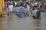 Video-Hot - Cá voi nặng 10 tấn mắc cạn được giải cứu về với biển