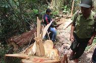 An ninh - Hình sự - Vụ phá rừng pơ mu ở Quảng Nam: Phía Lào sẽ khởi tố