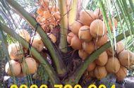 Sản phẩm - Dịch vụ - Trồng thành công giống dừa cho trái 2 màu