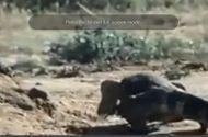 Video-Hot - Rắn hổ mang chết thảm sau cuộc chiến với rồng đất