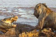 Video-Hot - Cá sấu ồ ạt tấn công sư tử ngang nhiên đoạt mồi