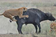 Video-Hot - Trâu rừng dạy cho sư tử một bài học nhớ đời