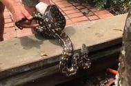 Video-Hot - Trăn dài 2 mét ôm ổ trứng ẩn mình trong sân vườn