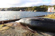 Hiện trường - Túi ni nylon, rác thải đầy ắp trong dạ dày cá voi mắc cạn