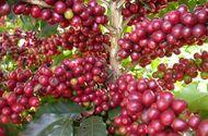 Kinh doanh - Hơn 10 ngàn ha cà phê Tây Nguyên được tái canh từ nguồn vốn Agribank