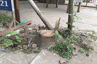 """Tin trong nước - Dẹp vỉa hè, chặt luôn cây: """"Chặt theo ý chí chủ quan"""""""