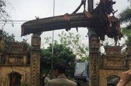 """Tin trong nước - Đại gia gỗ Đồng Kỵ chi 24,5 tỷ mua """"cụ"""" sưa 200 tuổi"""