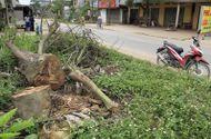 """Tin trong nước - Huyện Thạch Thất chặt gần 500 cây xanh trong đợt ra quân """"đòi"""" vỉa hè"""