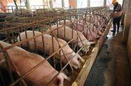 """Thị trường - Bộ Nông nghiệp sang Trung Quốc đàm phán để """"giải cứu"""" lợn thịt"""