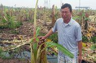 Tin trong nước - Gần 3000 cây chuối bị côn đồ phá nát trong đêm, chủ vườn mếu máo
