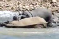 Video-Hot - Hà mã nổi giận cắn chết tê giác bằng đòn chí mạng