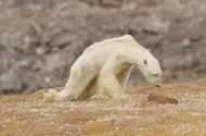 Tin thế giới - Gấu Bắc Cực đói trơ xương nằm chờ chết