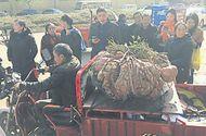 Tin tức - Choáng váng với củ khoai lang khổng lồ nặng 41 kg