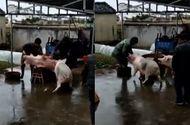 """Cộng đồng mạng - Chú lợn xông đến dọa đồ tể, """"giải cứu"""" đồng bọn sắp bị giết thịt"""